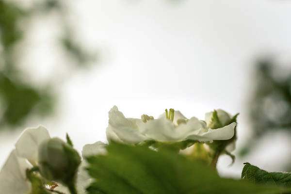 Photograph - White Blossoms by Jeanette Fellows