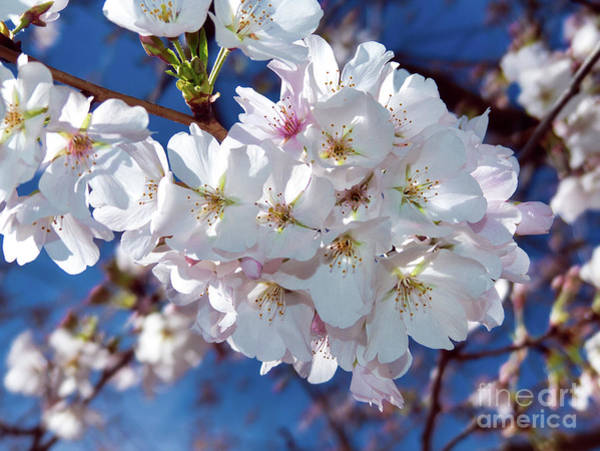 Photograph - White Blossoms With Carolina Blue by Amy Dundon