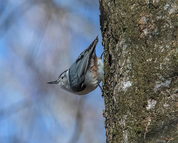 Photograph - White-breasted Nuthatch Dsb0332 by Gerry Gantt