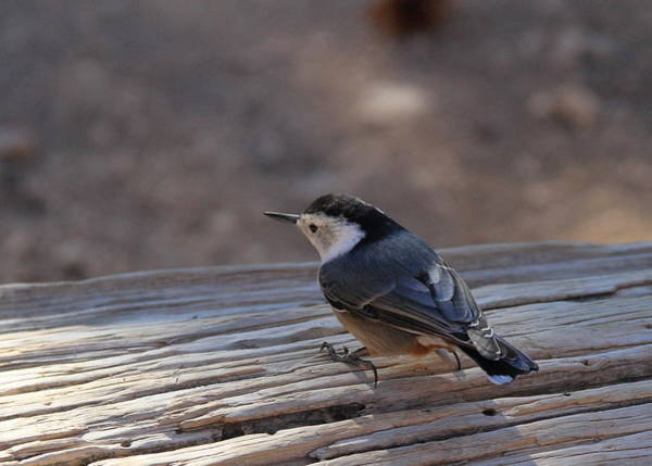 Photograph - White Breasted Nuthatch by Ed  Riche