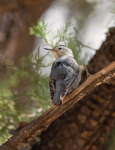 Sitta Carolinensis Photograph - White Breasted Nuthatch by Loree Johnson