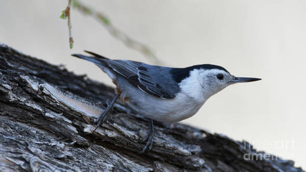 Photograph - White-breasted Nuthatch by Robert WK Clark