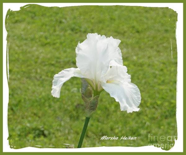 Wall Art - Photograph - White Bridal Iris by Marsha Heiken