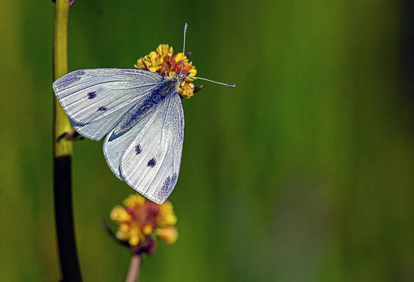 Photograph - White Butterfly 2 by Rick Mosher