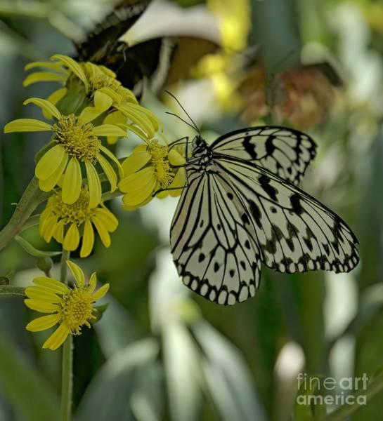 White Butterfly Art Print by Elijah Knight