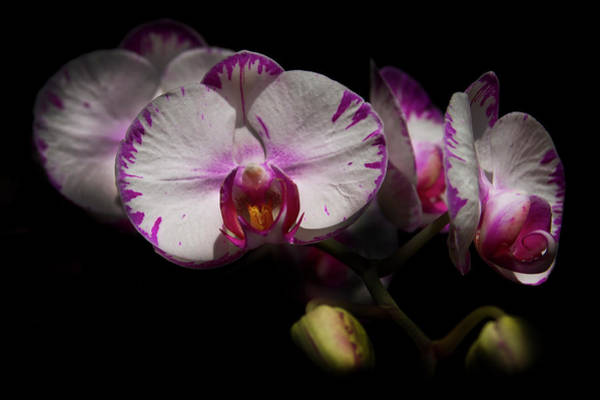 Photograph - White Butterfly Orchids by Debra and Dave Vanderlaan
