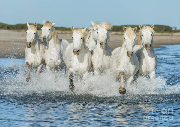 Wall Art - Photograph - White Camargue Horses Galloping Along by Vadim Petrakov
