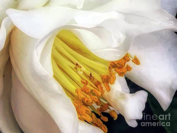 Digital Art - White Camellia Elegance by Amy Dundon
