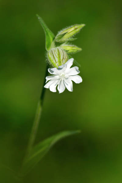 Photograph - White Campion Flower by Christina Rollo