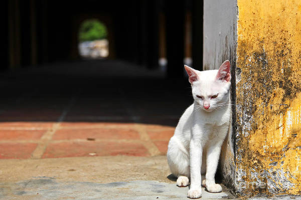 Purebred Wall Art - Photograph - White Cat Resting Outside by Stephen Chung