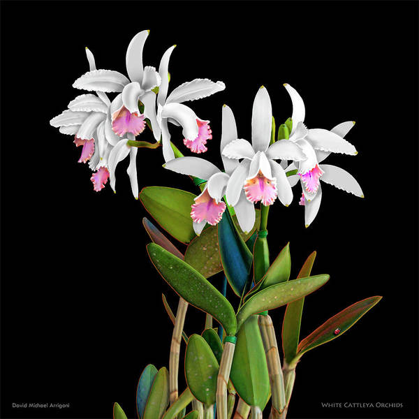 Painting - White Cattleya Orchids by David Arrigoni