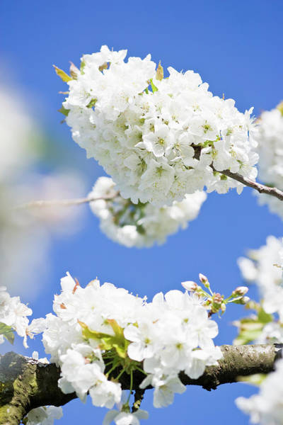 Fruit Trees Wall Art - Photograph - White Cherry Blossom Against Blue Sky by Frank Lukasseck