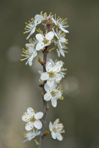 Photograph - White Cherry Blossom Flowers by Scott Lyons