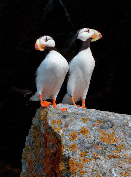 Vertebrate Photograph - White-chested Puffins, Fratercula by Mint Images/ Art Wolfe