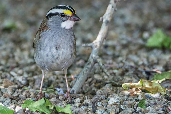 Photograph - White-chinned Sparrow 9508-050319 by Tam Ryan