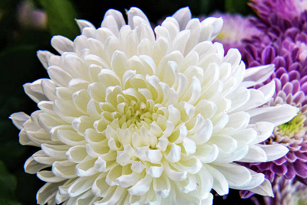 Wall Art - Photograph - White Chrysanthemum by Mary Ann Artz