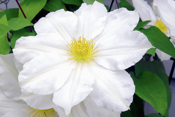 Photograph - White Clematis Flower by Sharon Talson