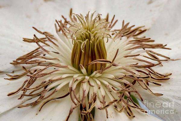 Photograph - White Clematis  by Susan Rydberg