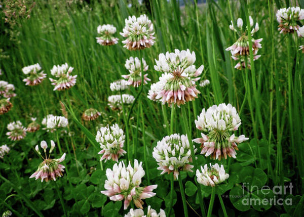 Digital Art - White Clover by Dee Flouton