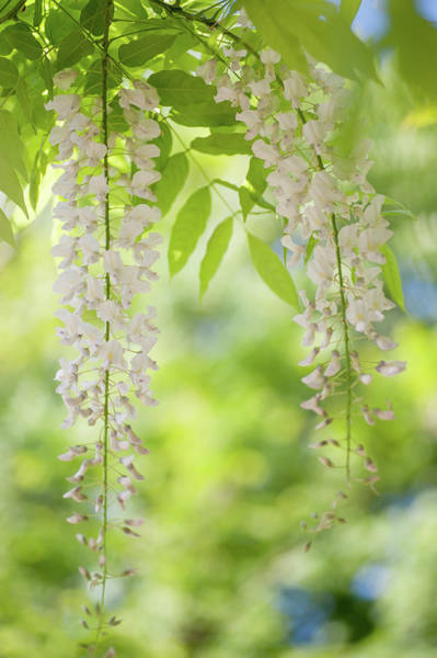 Photograph - White Clusters Of Flowering Wisteria by Jenny Rainbow