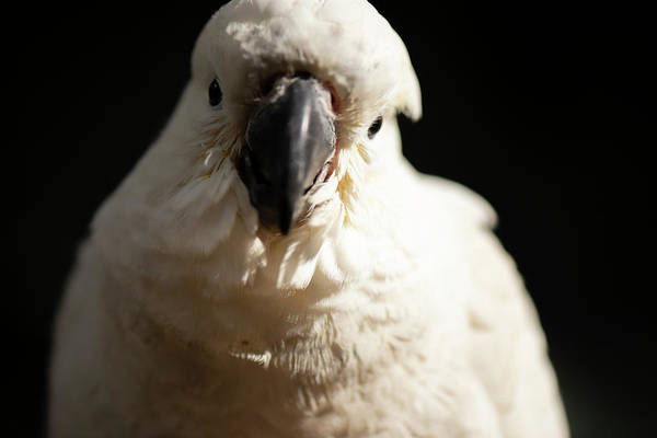 Photograph - White Cockatoo. by Rob D Imagery