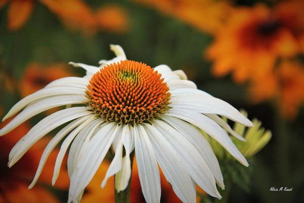 Wall Art - Photograph - White Coneflower by Alicia Knust