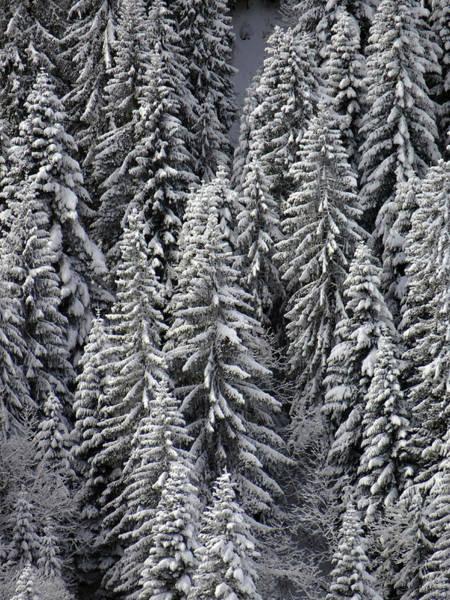 Photograph - White Conifer Forest, On Hillside by Steve Estvanik