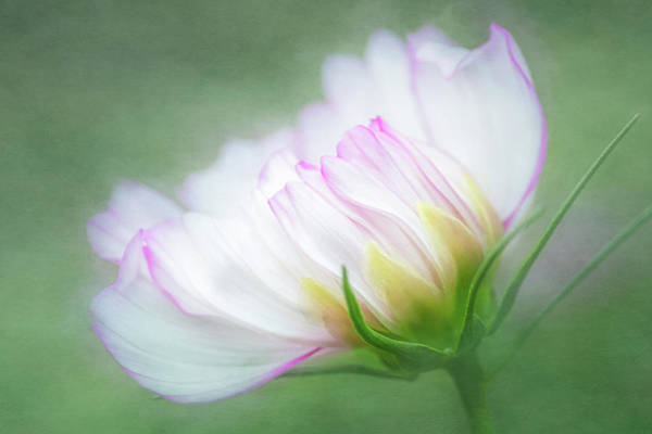 Photograph - White Cosmos by Cyndy Doty