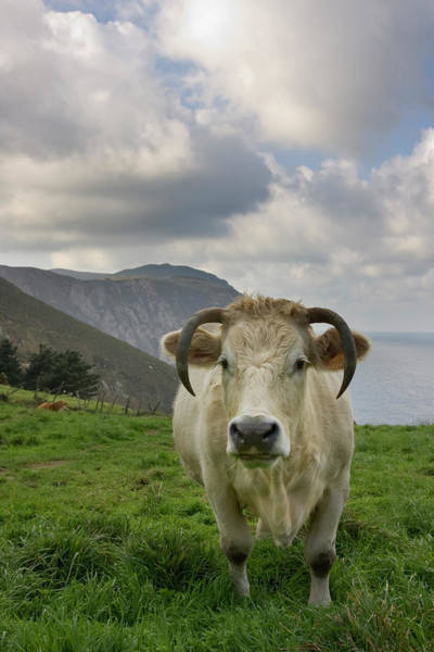 Galicia Photograph - White Cow Grazing On A Green Pasture by © Santiago Urquijo