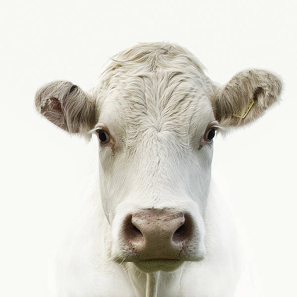 Close Up Photograph - White Cow by Jojo1 Photography