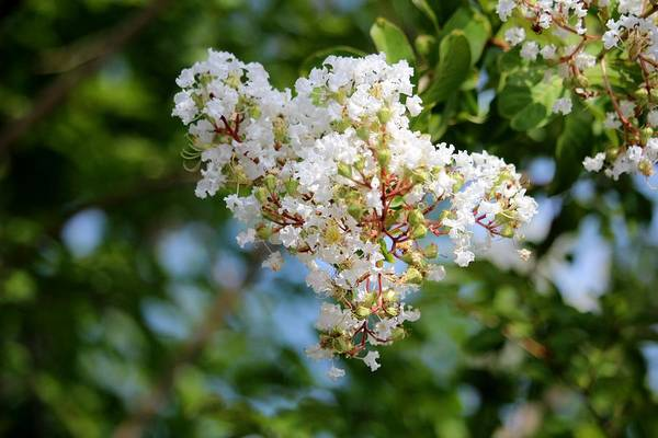 Photograph - White Crape Myrtle Flowers by Cynthia Guinn