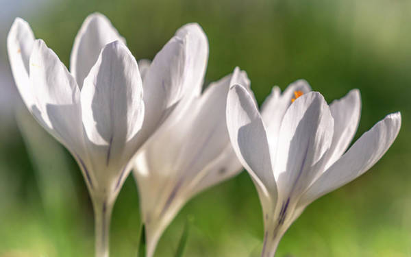 Photograph - White Crocus by Framing Places