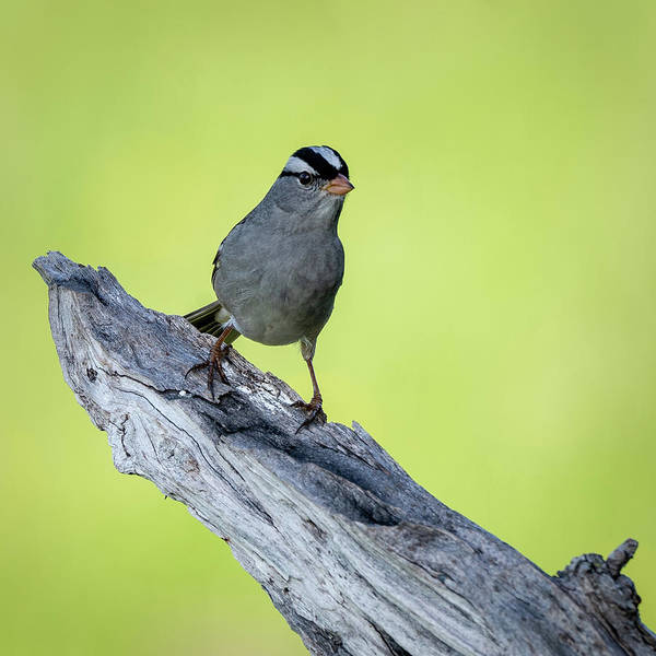 Photograph - White Crowned Sparrow 1 by David Heilman