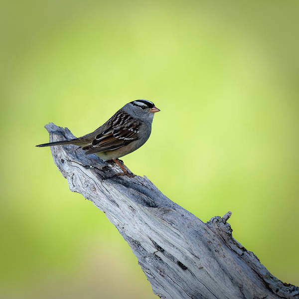 Photograph - White Crowned Sparrow 2 by David Heilman