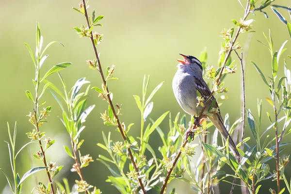 Photograph - White Crowned Sparrow 2 by Michael Chatt