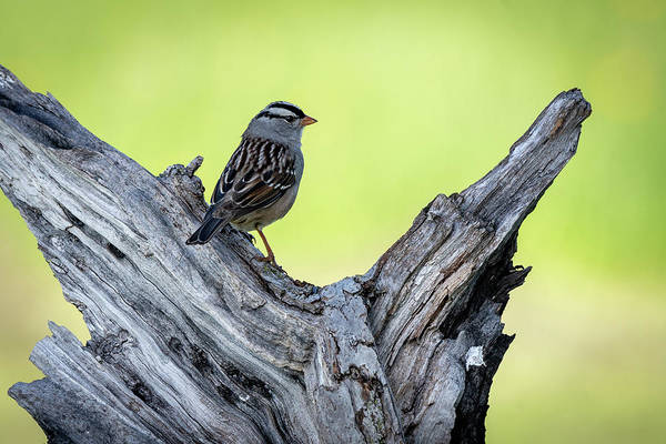 Photograph - White Crowned Sparrow 3 by David Heilman