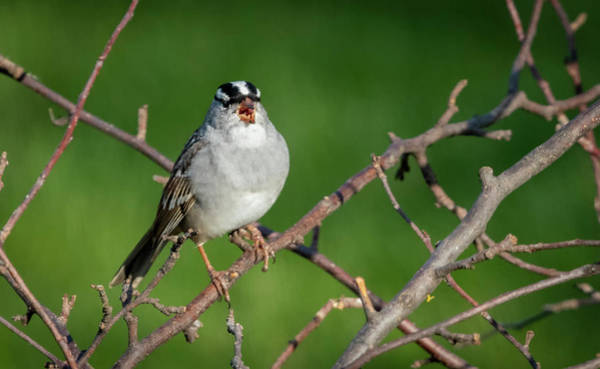 Photograph - White-crowned Sparrow Singing  by Ricky L Jones