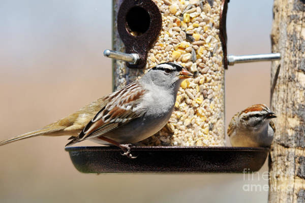 Wall Art - Photograph - White-crowned Sparrow, Zonotrichia by Sylvie Bouchard