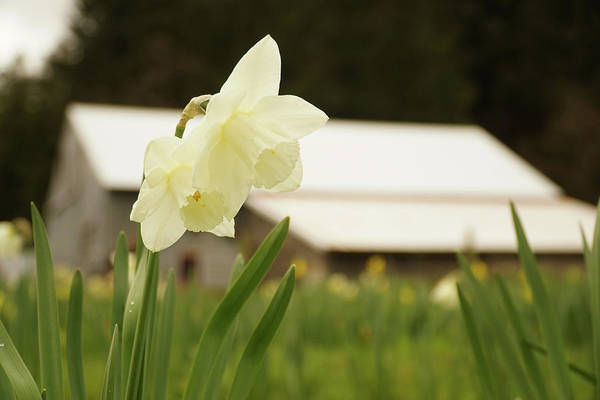 Wall Art - Photograph - White Daffodils by Angi Parks