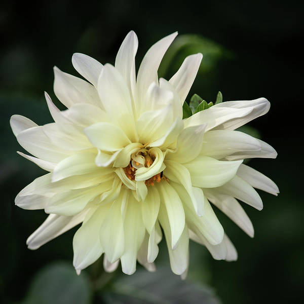 Photograph - White Dahlia Beauty by Dale Kincaid