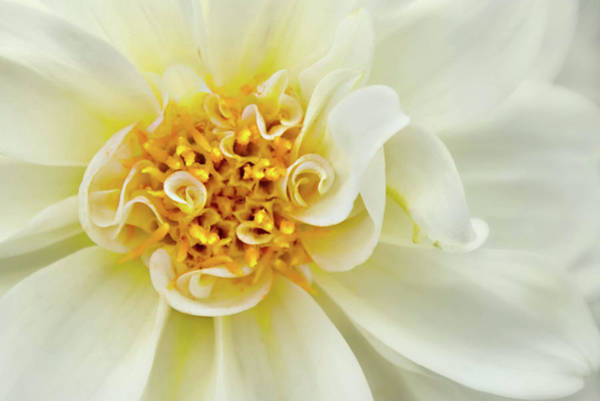 Photograph - White Dahlia Curls by Mary Jo Allen