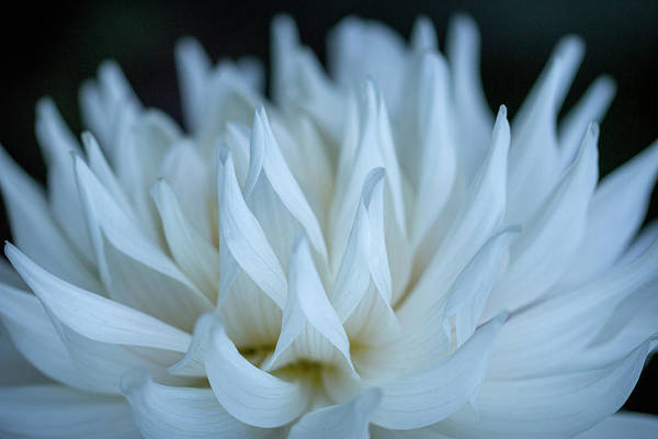 Photograph - White Dahlia Dance By Tl Wilson Photography by Teresa Wilson