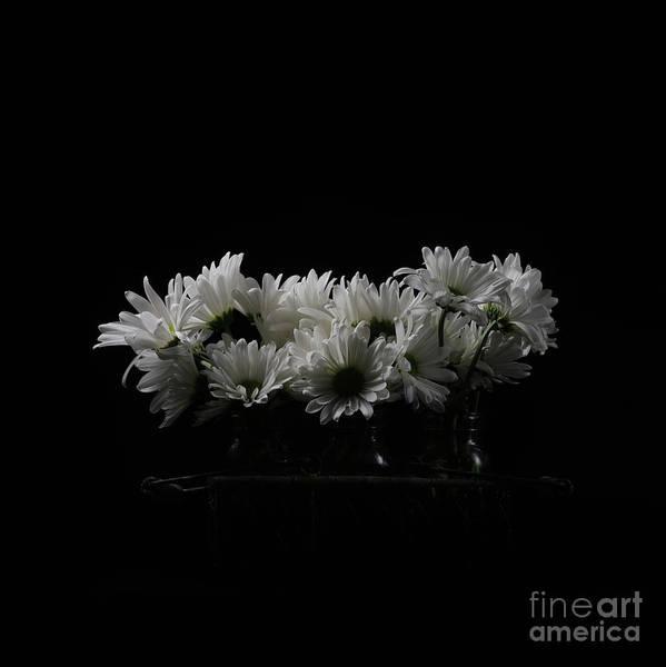 Wall Art - Photograph - White Daisy Flowers Black Background by Edward Fielding