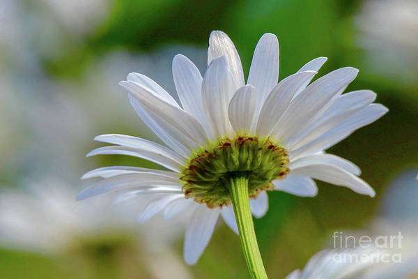 Photograph - Fresh As A Daisy by Susan Rydberg