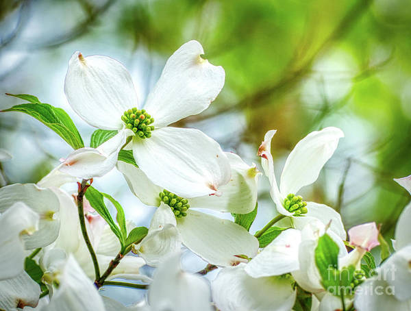 Photograph - White Dogwood Blossoms by Amy Dundon