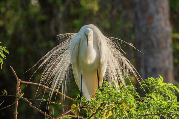 Photograph - White Egret by Dorothy Cunningham