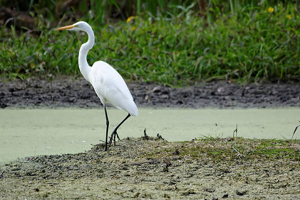 Photograph - White Egret by Peter Ponzio
