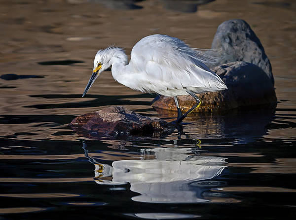 Photograph - White Egret  by Rick Mosher
