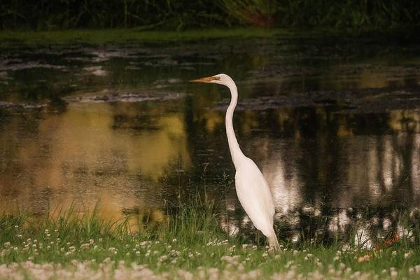 Digital Art - White Egret Standing Near Small Pond. by Rusty R Smith