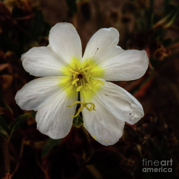 Wall Art - Photograph - White Evening Primrose by Robert Bales